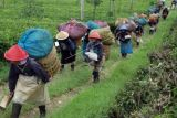 50 Persen Produk Teh Tambi Diekspor