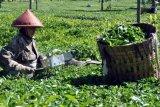 Tingkatkan Pendapatan, PT Perkebunan Tambi Diversifikasi Tanaman