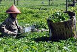 Agrowisata Kebun Teh Tambi Wonosobo Diminati Wisatawan
