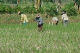 Dinas Tanaman Pangan OKU Timur imbau petani  manfaatkan lahan nganggur