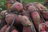 Kementan ajak konsumsi ubi ungu untuk tingkatkan imunitas terhadap COVID-19