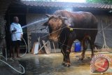 Seorang peternak sedang memandikan sapinya yang dipelihara di Menjing, Pandeyan, Ngemplak, Boyolali, Provinsi Jawa Tengah. Sapi jenis Limosin tersebut memiliki bobot 1,2 ton yang siap dijual untuk kebutuhan kurban Idul Adha 1437 H/2016 M dengan harga Rp75 Juta. (ANTARA FOTO/Aloysius Jarot Nugroho/Dok).