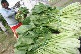 Petani memanen sawi di area persawahan Kelurahan Blabak, Kota Kediri, Jawa Timur, Kamis (15/9). Sepekan terakhir harga jual sawi di tingkat petani merosot dari standarnya Rp2.000 menjadi Rp1.000 per kg karena stok di pasaran berlimpah akibat musim panen yang bersamaan di sejumlah daerah. Antara jatim/Prasetia Fauzani/zk/16