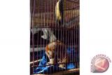Seekor Kukang (Nycticebus coucang) yang diserahkan warga berada di dalam kandang di Balai Konservasi Sumber Daya Alam (BKSDA) Kalbar di Pontianak, Rabu (19/9). Pada Minggu (18/9), BKSDA Kalbar menerima Kukang yang dalam keadaan tidak sehat dari warga Karya Sosial Pontianak bernama Sihar Aslam, yang mengaku telah menemukan hewan dilindungi Undang-Undang tersebut dari lingkungan sekitar tempat Ia bermukim pada lima hari lalu. ANTARA FOTO/Jessica Helena Wuysang/16