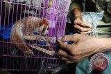 Seekor Kukang (Nycticebus coucang) yang diserahkan warga menerima makanan dari petugas Balai Konservasi Sumber Daya Alam (BKSDA) Kalbar di Pontianak, Rabu (19/9). Pada Minggu (18/9), BKSDA Kalbar menerima Kukang yang dalam keadaan tidak sehat dari warga Karya Sosial Pontianak bernama Sihar Aslam, yang mengaku telah menemukan hewan dilindungi Undang-Undang tersebut dari lingkungan sekitar tempat Ia bermukim pada lima hari lalu. ANTARA FOTO/Jessica Helena Wuysang/16