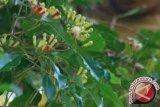 Petani Tolitoli Resah Hama Serang Tanaman Cengkih