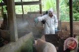 Virus flu babi Afrika ditemukan di Bangka Belitung