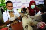 Dokter hewan melakukan proses menyuntikkan vaksin anti rabies ke seekor kucing, saat peringatan Hari Rabies se-dunia di Pontianak, Kalbar, Rabu (28/9). Kementerian Kesehatan menyalurkan alat kesehatan guna mengantisipasi rabies di Kalbar, yaitu berupa 25 ribu dosis vaksin antirabies berikut dengan kulkas penyimpanan 10 unit, kotak dingin 10 unit dan 282 alat pemvaksin/vaksinator. ANTARA FOTO/Jessica Helena Wuysang/16
