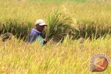 Musim Hujan Akibatkan Luasan Tanaman Padi Naik 3.000 Hektare
