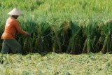 3.000 Hektare Padi di Kudus Bakal Diasuransikan