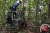 Satu dari dua individu Orangutan (pongo pygmaeus) keluar dari kandang saat dilepasliarkan di hutan Taman Nasional Bukit Baka Bukit Raya (TNBBBR), Kabupaten Melawi, Kalbar, Jumat (26/11). International Animal Rescue (IAR) Indonesia bersama Balai Konservasi dan Sumber Daya Alam (BKSDA) Kalbar dan Balai Taman Nasional Bukit Baka Bukit Raya melakukan pelepasan dua individu orangutan (Pongo Pygmaeus) yaitu Johny dan Desi yang telah menjalani rehabilitasi selama empat tahun di Pusat Penyelamatan dan Rehabilitasi IAR Indonesia. ANTARA FOTO/ Heribertus Suciadi/jhw/16