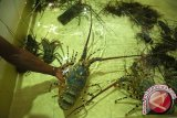 LIPI: Pengambilan lobster tak ramah lingkungan rusak terumbu karang