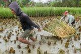 Petani Mengusulkan Peninggian Sawah Di Dataran Rendah