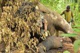 Seorang warga melihat seekor Gajah Sumatera jantan yang diduga mati ditembak di kawasan perkebunan kelapa sawit PT Dwi Kencana Semesta di Desa Jamboe Reuhat Kecamatan Banda Alam, Aceh Timur, Aceh, Minggu (15/1). Balai Koservasi Sumber Daya Alam (BKSDA) Aceh menyebutkan kematian gajah jantan di perdalaman Aceh Timur tersebut diduga segaja dibunuh untuk pengambilan gading gajah karena ditemukan luka tembakan. ANTARA FOTO/Munzir/Syf/foc/17.
