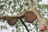 Melihat pengembanga madu hutan organik Kapuas Hulu