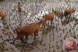 Populasi Ternak Sapi Sultra 333.148 Ekor