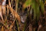 BKSDA selidiki insiden serangan  macan yang menewaskan petani di Lahat