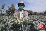 Brokoli bantu jaga kesehatan usus Anda