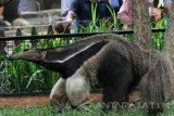 Seekor anteater atau pemakan semut raksasa (myrmecophaga tridactyla) kiriman dari Singapore Zoo berada di kandang khusus di taman satwa Jatim Park II, Batu, Jawa Timur, Minggu (2/4). Kiriman anteater atau pemakan semut raksasa tersebut merupakan hasil kerjasama antar kebun binatang sebagai upaya konservasi, pembiakan dan pertukaran satwa. Antara Jatim/Ari Bowo Sucipto/zk/17