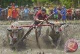 Barapan Kebo Sumbawa sangat diminati wisatawan mancanegara