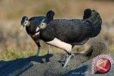 Konawe Utara Diminta Lindungi Habitat Burung Maleo
