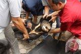 Tim dokter bersama petugas BKSDA memindahkan beruang madu (helarctos malayanus ) dalam kondisi luka membusuk pada kaki kanannya di Banda Aceh, Jumat (28/4). Tim dokter hewan terpaksa melakukan amputasi kaki kanan beruang madu yang terkena jerat atau perangkap babi di  kawasan hutan Kabupaten Aceh Utara  (ANTARA Aceh/Ampelsa)