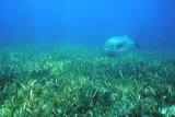 Padang lamun bagian timur Indonesia lebih kaya spesies dibandingkan bagian barat, kata peneliti LIPI