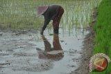 Kompos organik olahan Parmalim jadi pilihan petani