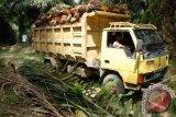 Harga TBS sawit di Barito Utara membaik
