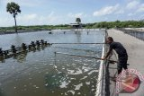 Menteri Susi: Udang Indonesia andalan devisa ekspor kelautan