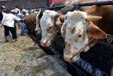 Akademisi: pengembangan sapi asli Indonesia perlu segera dilakukan