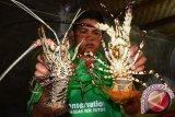 KKP perlu fasilitasi nelayan dalam pembudidayaan lobster