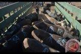 Pedagang menaikkan sapi yang akan dikirim ke Jawa di Pasar Hewan Beringkit, Badung, Bali, Selasa (22/8). Menjelang Hari Raya Iduladha 1438 H, ribuan sapi asal Bali dikirim ke berbagai daerah seperti Jakarta, Jember, Surabaya, dan Banyuwangi untuk memenuhi kebutuhan hewan kurban. Antara Foto/Fikri Yusuf/nym/2017.