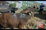 Pedagang menaikan sapi yang akan dikirim ke Jawa di Pasar Hewan Beringkit, Badung, Bali, Selasa (22/8). Menjelang Hari Raya Iduladha 1438 H, ribuan sapi asal Bali dikirim ke berbagai daerah seperti Jakarta, Jember, Surabaya, dan Banyuwangi untuk memenuhi kebutuhan hewan kurban. Antara Bali/Fikri Yusuf/nym/2017.