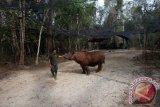 Lahan restorasi untuk pakan badak sumatera diresmikan