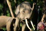 Belasan gajah masih berkeliaran di permukiman warga