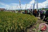 DPKP DIY uji coba varietas Inpari 24 seluas 137 hektare di Gunung Kidul