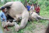 Warga mengamati dua gajah Sumatera (Elephas maximus sumatrensis) yang mati diduga akibat tersengat arus listrik di Kawasan perkebunan warga Desa Seumanah Jaya, Rantoe Perlak, Aceh Timur, Aceh, Minggu (15/10). Menurut keterangan Kepala Balai Konservasi Sumber Daya Alam (BKSDA) Aceh Sapto Aji Prabowo sejak dua tahun terakhir sebanyak 12 ekor gajah sumatera mati akibat tersengat arus listrik, diracun dan ditembak. ANTARA FOTO/Jabir/Syf/aww/17.
