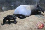 Anak seekor tapir (tapirus indicus) asal Sumatera sedang bermain dengan induknya bernama Tari, yang pernah diselamatkan tim rescue lembaga konservasi ex-situ (di luar habitat alami) Taman Safari Indonesia, Cisarua, Bogor, Jabar. (ANTARA FOTO/Humas TSI/17)
