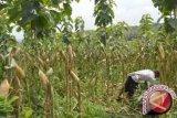 Kolaka Timur Tanam Jagung 7.500 Hektare