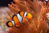KKP ingatkan pembudidayaan untuk jaga plasma nutfah ikan  hias laut