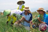 Kementan: Penerapan True Shallot Seed meningkatkan hasil benih bawang