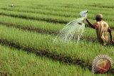 Beberapa tumbuhan lokal efektif kendalikan hama bawang merah, kata peneliti