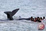 Petugas dari berbagai komponen dibantu warga saat berupaya mengevakuasi ikan paus yang terdampar di Pantai Ujong Kareung, Aceh Besar, Aceh, Senin (13/11/17). Proses evakuasi 10 ikan jenis paus Sperma melibatkan berbagai komponen masyarakat, sementara pihak terkait masih melakukan penyelidikan penyebab terdamparnya ikan tersebut. (ANTARA FOTO/Irwansyah Putra).
