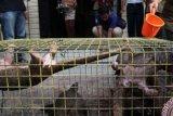 WWF Harapkan Kerja Sama Lintas Negara Dalam Tanggulangi Perdagangan Trenggiling