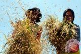 Produksi padi di Sumsel lima juta ton