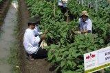 Kemarau, petani kembangkan tanaman sayur-sayuran