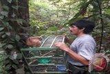 BKSDA Muara Teweh Lepasliarkan Kukang di Pararawen
