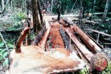 Usai ditetapkan tersangka ilegal logging, direktur perusahaan ini tiba-tiba sakit