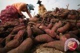 Tantangan rantai pasokan agroindustri tepung dan pati